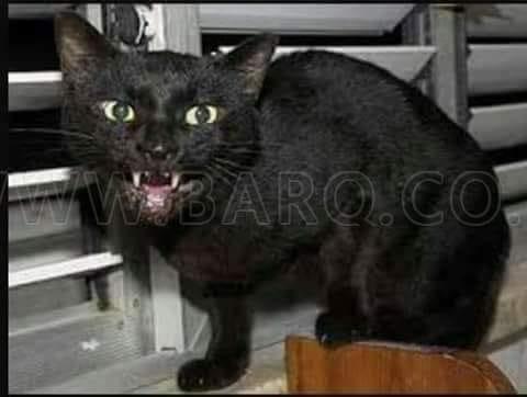 قصة القطة السوداء (كاملة)
